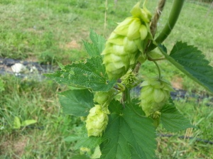 Behold ... the Hop.