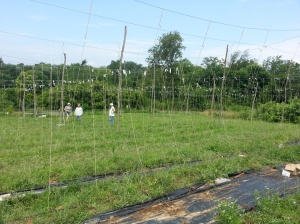 The hop yard at the halfway point.